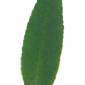 Photographie n°71167 du taxon Buddleja davidii Franch. [1887]