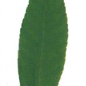 Photographie n°71170 du taxon Buddleja davidii Franch. [1887]