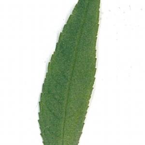 Photographie n°71171 du taxon Buddleja davidii Franch. [1887]