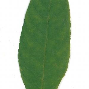 Photographie n°71172 du taxon Buddleja davidii Franch. [1887]