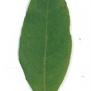 Photographie n°71173 du taxon Buddleja davidii Franch. [1887]