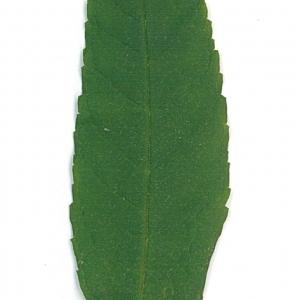 Photographie n°71174 du taxon Buddleja davidii Franch. [1887]