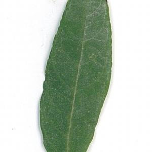 Photographie n°71175 du taxon Buddleja davidii Franch. [1887]