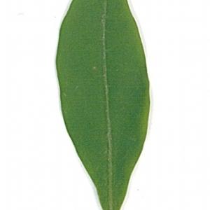 Photographie n°71192 du taxon Ligustrum vulgare L. [1753]