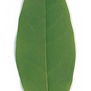 Photographie n°71194 du taxon Ligustrum vulgare L. [1753]