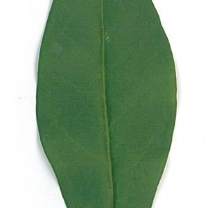 Photographie n°71195 du taxon Ligustrum vulgare L. [1753]