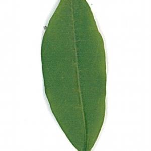Photographie n°71196 du taxon Ligustrum vulgare L. [1753]