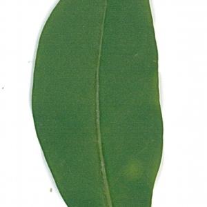 Photographie n°71197 du taxon Ligustrum vulgare L. [1753]