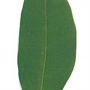 Photographie n°71198 du taxon Ligustrum vulgare L. [1753]