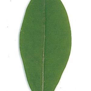 Photographie n°71199 du taxon Ligustrum vulgare L. [1753]
