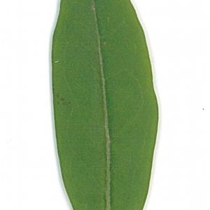 Photographie n°71200 du taxon Ligustrum vulgare L. [1753]