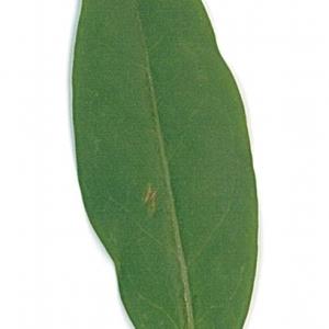 Photographie n°71201 du taxon Ligustrum vulgare L. [1753]