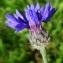 Bertrand BUI - Centaurea cyanus L.