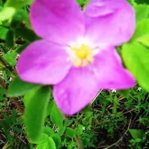 Photographie n°71574 du taxon Rosa cinnamomea L.