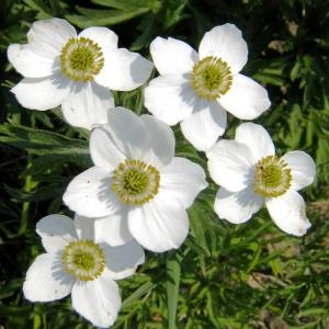 Anemone sp.