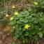 John De Vos - Ranunculus ficaria L.