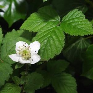 Rubus sp. (Ronce)
