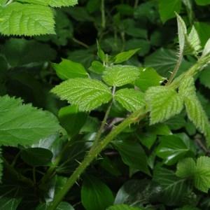 Photographie n°71673 du taxon Rubus L.