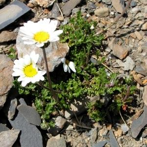 Photographie n°71724 du taxon Chrysanthemum alpinum L. [1753]