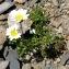 Alain Bigou - Chrysanthemum alpinum L. [1753]