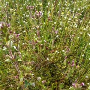 Photographie n°71787 du taxon Parentucellia latifolia (L.) Caruel