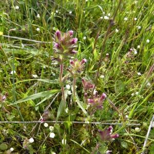 Photographie n°71788 du taxon Parentucellia latifolia (L.) Caruel