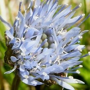 Jasione laevis Lam. subsp. laevis (Jasione lisse)