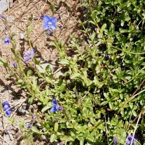 Veronica serpyllifolia subsp. humifusa (Dicks.) Syme (Véronique couchée)