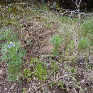 - Lupinus angustifolius L.