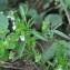 Valérie BRUNEAU-QUEREY - Viola arvensis Murray [1770]