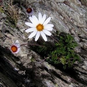 Photographie n°71877 du taxon Leucanthemopsis alpina (L.) Heywood
