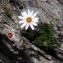 Alain Bigou - Leucanthemopsis alpina (L.) Heywood [1975]