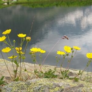 Photographie n°71881 du taxon Ranunculus montanus