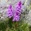 Alain Bigou - Dactylorhiza majalis (Rchb.) P.F.Hunt & Summerh. [1965]