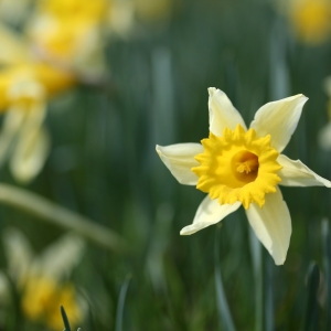Photographie n°71958 du taxon Narcissus pseudonarcissus L. [1753]