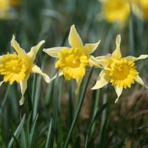 Photographie n°71960 du taxon Narcissus pseudonarcissus L. [1753]