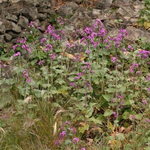 Photographie n°71976 du taxon Lunaria annua L.