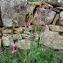 Paul Fabre - Gladiolus italicus Mill. [1768]