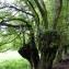 Emmanuel Stratmains - Carpinus betulus L.