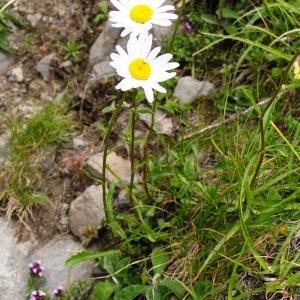 Photographie n°72062 du taxon Leucanthemum vulgare Lam. [1779]