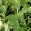 Alain Bigou - Silene vulgaris subsp. vulgaris