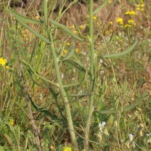 Photographie n°72153 du taxon Chondrilla juncea L. [1753]