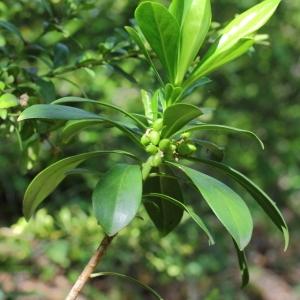 Photographie n°72213 du taxon Daphne laureola L. [1753]