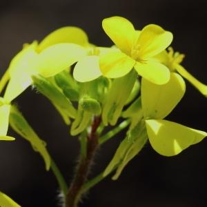 Biscutella cichoriifolia Loisel. (Biscutelle à feuilles de chicorée)