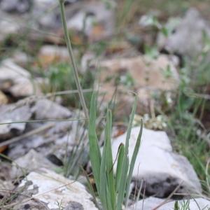 Photographie n°72243 du taxon Ranunculus gramineus L. [1753]