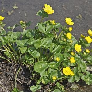 Photographie n°72336 du taxon Caltha palustris subsp. palustris