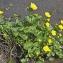Jean-Claude Ernewein - Caltha palustris subsp. palustris