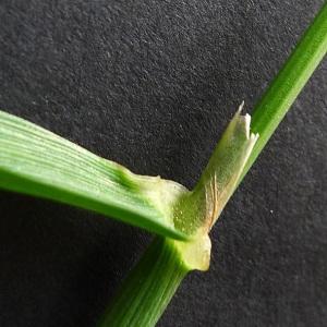 Photographie n°72359 du taxon Alopecurus myosuroides Huds.