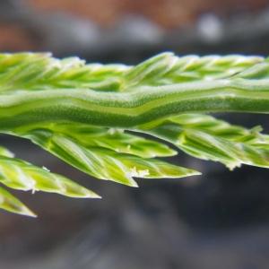 Catapodium marinum (L.) C.E.Hubb. (Fausse Ivraie)