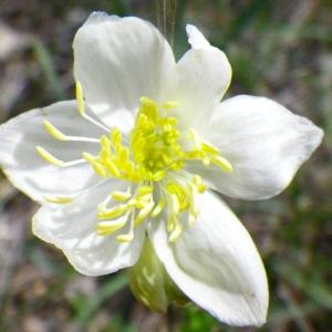 Photographie n°72427 du taxon Thalictrum tuberosum L. [1753]